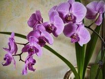 Den purpurfärgade orkidén blommar i Burnley Lancashire Arkivfoto