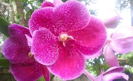 Den purpurfärgade orkidén blommar i en luftorkidéväxt arkivbild
