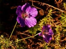 Den purpurfärgade pelargon Eureka blommar i eftermiddagsol Arkivfoto