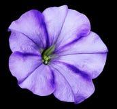 Den purpurfärgade petuniablomman på svart isolerade bakgrund med den snabba banan inga skuggor closeup Arkivbild