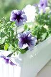 Den purpurfärgade petunian blommar i en kruka på fönstret Petuniadecoratin Royaltyfria Foton