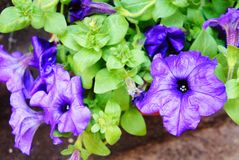 Den purpurfärgade petunian blommar i trädgården i sommarmörkret - den blåa klungan av purpurfärgade petunior som hänger på trädsl arkivbilder