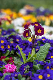 Den purpurfärgade primulan i en Istanbul parkerar Royaltyfria Bilder