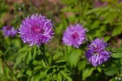 Den purpurfärgade rosa färgen fyller på med bränsle aster, Stokesia somlaevis blommar i blom royaltyfri foto
