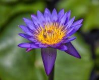 Den purpurfärgade solen Royaltyfria Bilder