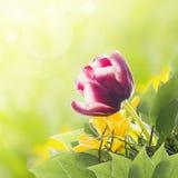 Den purpurfärgade tulpan i bukett med guling blommar i solig trädgård Arkivfoto