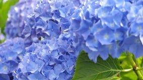 Den purpurfärgade vanliga hortensian blommar på en bakgrund av gröna sidor