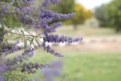 Den purpurfärgade violetta våren blommar i en trädgård purpurfärgad violett spri Royaltyfri Bild