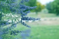 Den purpurfärgade violetta våren blommar i en trädgård purpurfärgad violett spri Fotografering för Bildbyråer