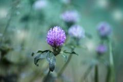 Den purpurfärgade violetta våren blommar i en trädgård purpurfärgad violett spri Arkivfoto