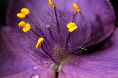 Den purpurfärgade violetta våren blommar med vattendroppar Royaltyfri Fotografi