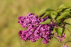 Den purpurfärgade lilan blommar i blom Fotografering för Bildbyråer