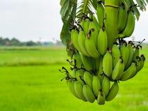 Den rå bananen Arkivfoton