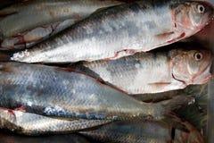 Den rå sillen fiskar i genomskinlig plast- ask Arkivbild