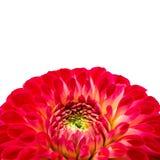 Den röd, rosa färg- och gulingdahlian blommar med guling- och gräsplanmittslut upp det isolerade makrofotoet Arkivfoto