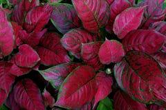 Den röda aglaonemaen den färgrika lövverkhouseplanten nyanserade sidor royaltyfri bild
