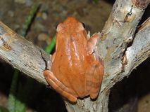Den röda amfibiska grodan är på en liten pinne Arkivbilder
