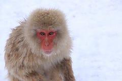 Den röda apan på snöapan parkerar i Japan Arkivbilder