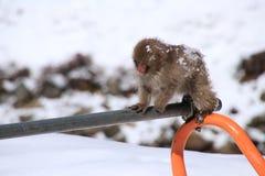Den röda apan på snöapan parkerar i Japan Arkivfoton