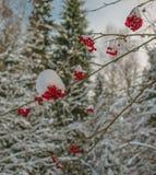 Den röda askaen täckas med fluffig snö royaltyfria bilder
