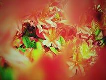 Den röda azalean blommar parkerar in Populära houseplants, favorit- perenn royaltyfri bild