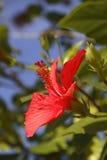 den röda blommahibiskusen single Arkivbilder