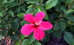 den röda blommahibiskusen single royaltyfria foton