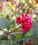 Den röda blomman Royaltyfri Foto