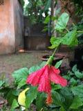 Den röda blomman Arkivbilder