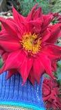 Den röda blomman Fotografering för Bildbyråer