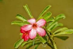 Den röda blomman efter regn royaltyfri bild
