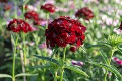 Den röda blomman i trädgård känner sig lycklig royaltyfria foton