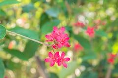 Den röda blomman på träd Royaltyfri Fotografi
