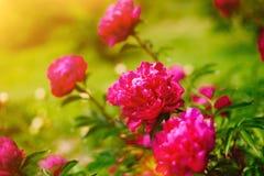 Den röda blommapionen som blomstrar i pioner, arbeta i trädgården Härligt nytt grönt gräs och mjukt solljus i bakgrunden royaltyfri fotografi
