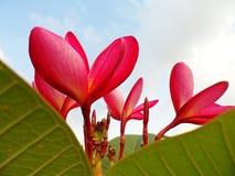 Den röda blommatappningen Royaltyfri Fotografi