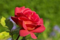 Den röda blomstra rosen tände vid aftonsolen Arkivfoton