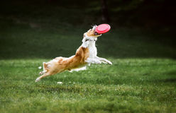 Den röda border collie hunden hoppar för en flygfrisbeediskett Arkivbilder