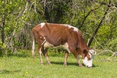 Den röda bruna vita kon betar på kanten av skogen Arkivbild