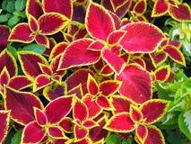 Den röda coleusen planterar closeupen Arkivfoto