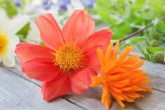 Den röda dahliablomman och apelsincalendulaen blommar på en trätabell Arkivbilder