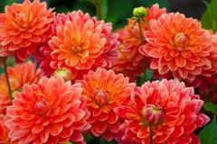 Den röda dahlian eller apelsinen blommar i trädgårds- full blom royaltyfri fotografi