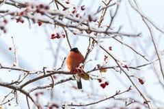Den röda domherren sitter på ett träd Siberia Ryssland Royaltyfria Foton