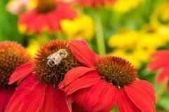 Den röda echinaceaen blommar med ett bi Fotografering för Bildbyråer