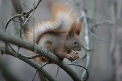 Den röda ekorren gnag en mutter Arkivfoton