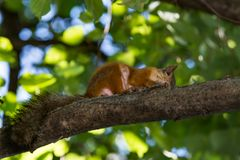 Den röda ekorren gnag en mutter på en trädfilial Arkivbild