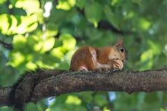 Den röda ekorren gnag en mutter på en trädfilial Royaltyfri Foto