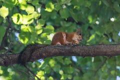 Den röda ekorren gnag en mutter på en trädfilial Arkivbilder
