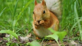 Den röda ekorren gnag skickligt muttrar i parkera Fotografering för Bildbyråer