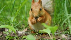 Den röda ekorren gnag skickligt muttrar i parkera Arkivfoto