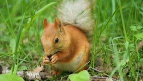 Den röda ekorren gnag skickligt muttrar i parkera Arkivbild